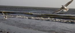 Flyvende måger ved Vesterhavet i Blåvand.