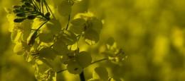 På denne årstid er der mange flotte billeder at få af blomster der springer ud, ja selv rapsmarker: