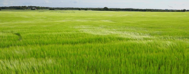 A Small video presentation of some beautiful wheat fields in Denmark waving in the wind.