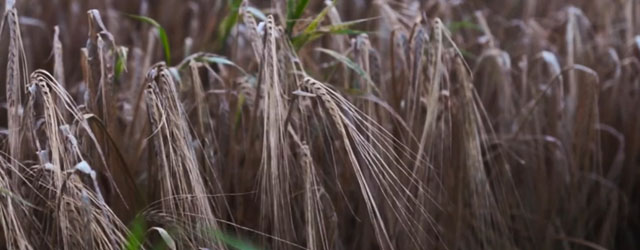 Another Small video presentation of some beautiful wheat fields in Denmark.